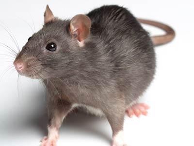 Dedetização: Mitos e verdades sobre ratos